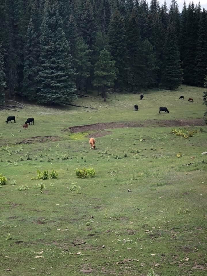 Cattle in Jemez Mountains