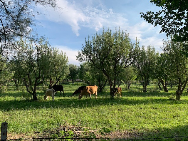 Cows in Orchard