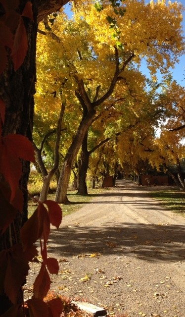 Fall Cottonwoods in Corrales