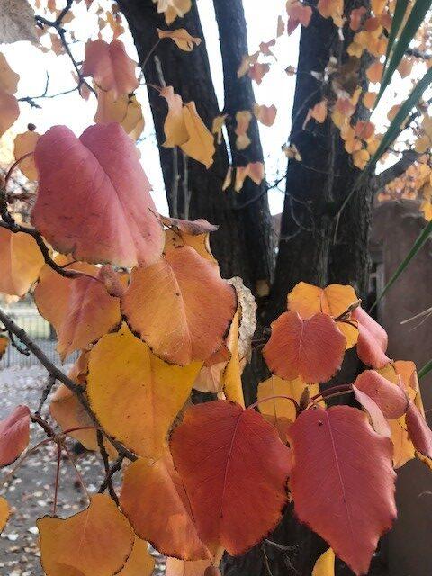 Pear Tree in Fall
