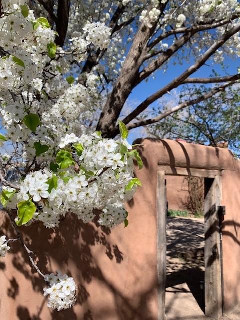 Pear Tree in Spring