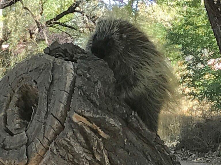 Porcupine in Bosque